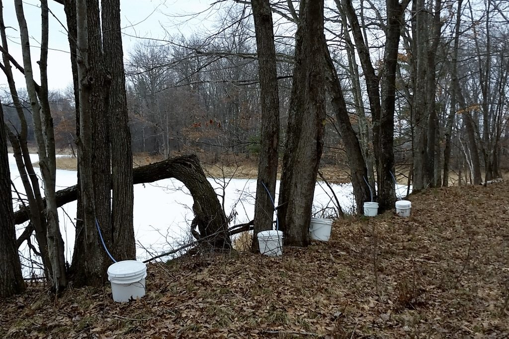 Tapping trees for syrup