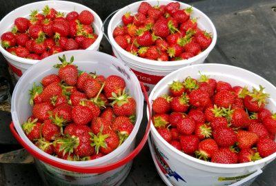 Buckets of fresh strawberries