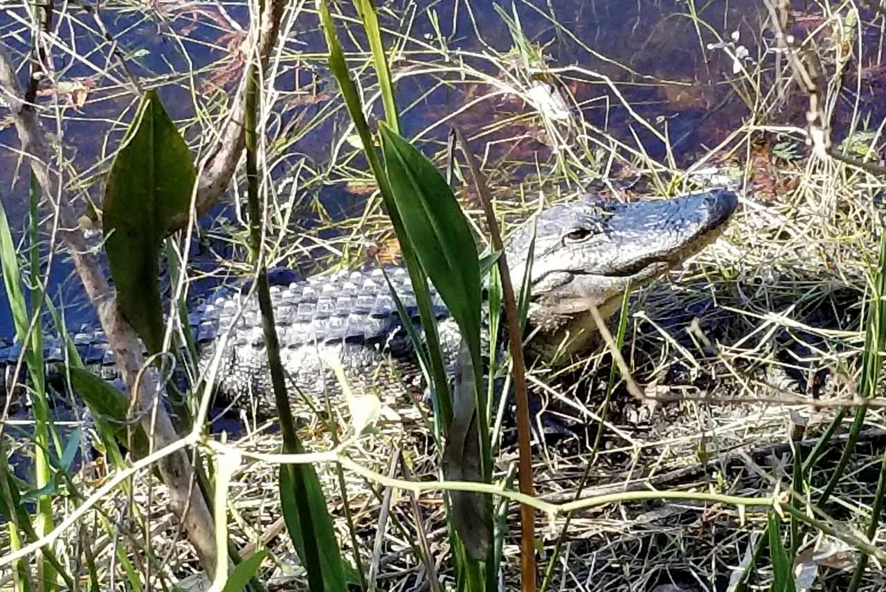 gator at six mile cypress slough preserve at gator lake